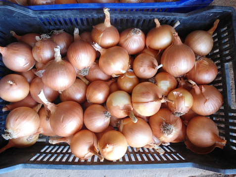 harvested onion bulbs2.png