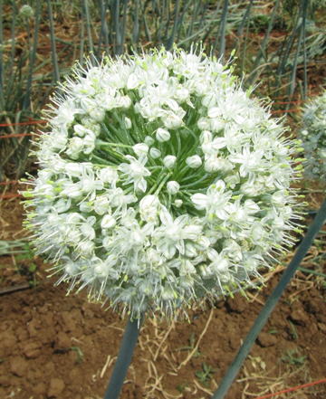 onion flower male sterile.png